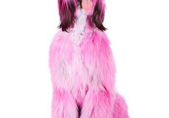 chien teint en rose