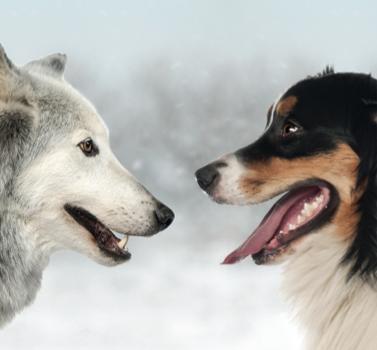 Le loup ancêtre du chien ?