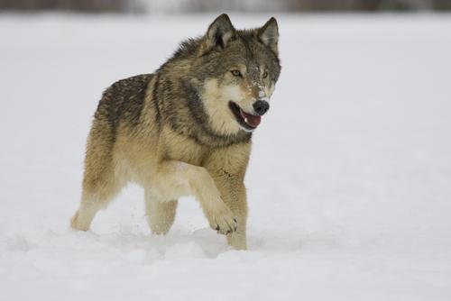 Origines du chien : les premiers chiens ont-ils été des loups adoptés ?