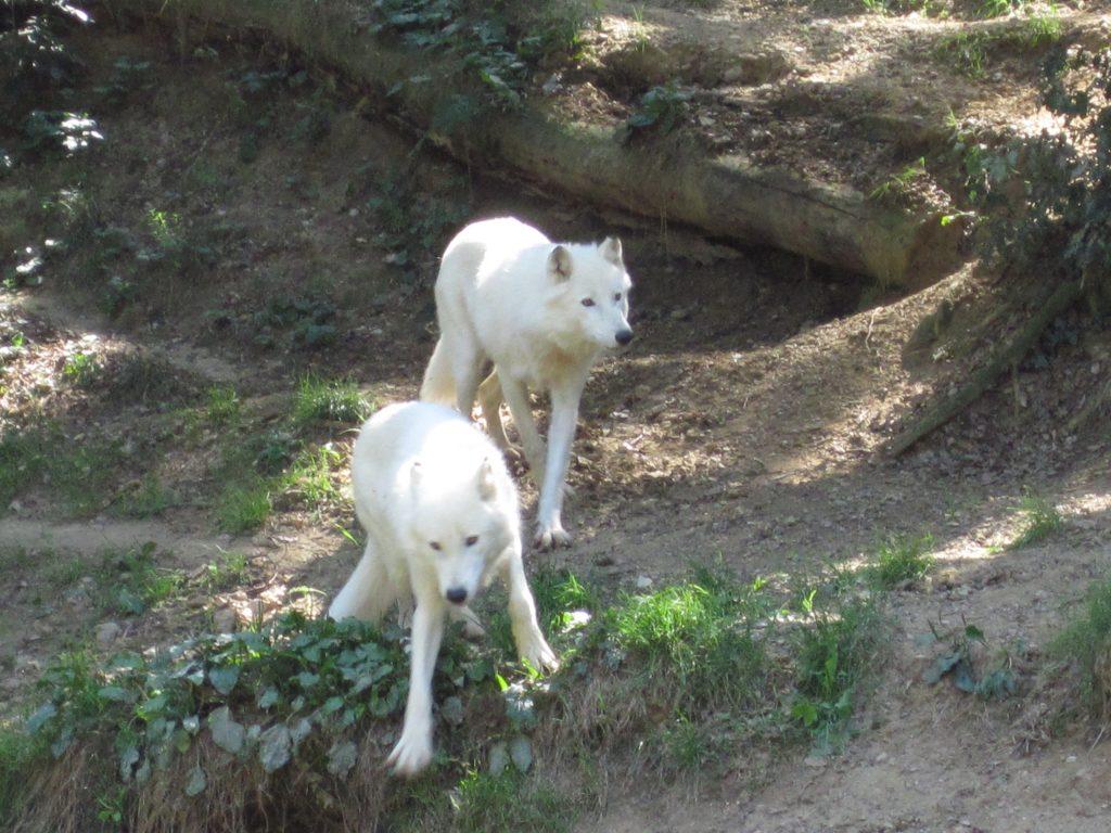 Origines du chien : des loups de compagnie ?