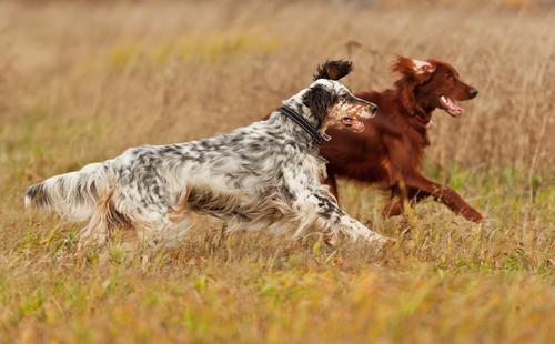 chiens de chasse