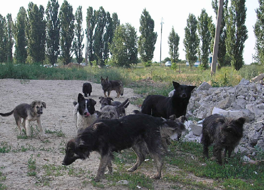 Free ranging dogs (Russie, Wikipedia)
