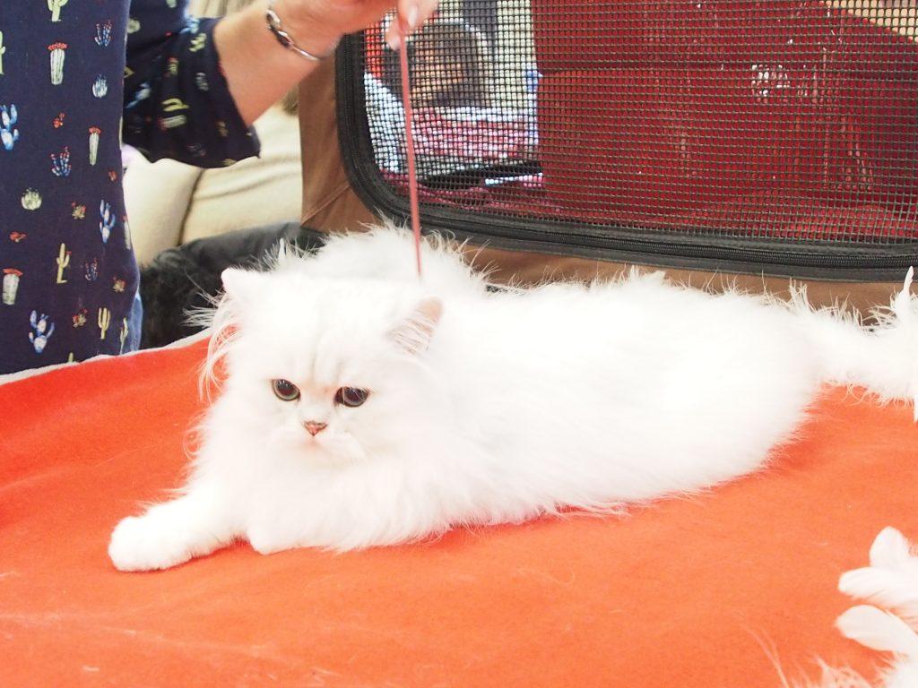 Très joli chat blanc