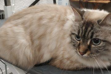 Un très beau chat bien entretenu