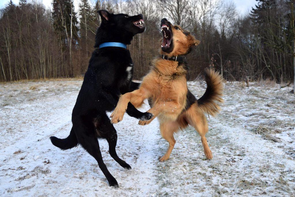 Deux chiens miment un combat