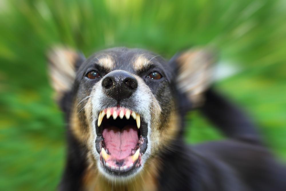 Un chien agressif en pleine phase de menace