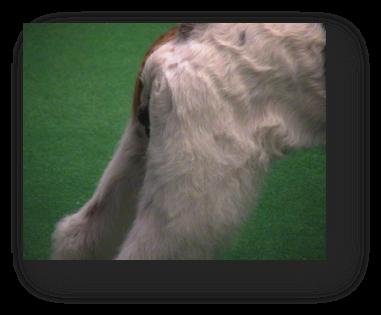 Epilation du chien : arrière-main