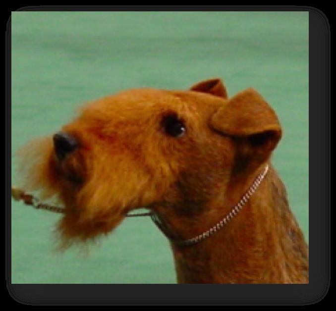 Epilation du chien : tête terrier