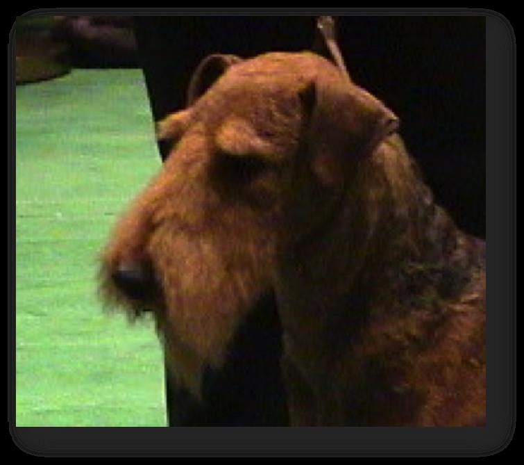 Epilation du chien : tête Airedale