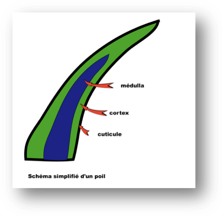 Entretenir son Bobtail : schéma du poil